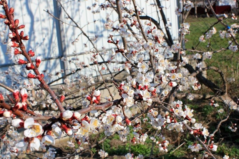 В Саврані зацвіли абрикоси - 04