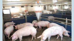 випадок африканської чуми свиней - Сарата