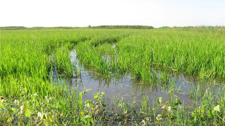 вирощування рису - рисівництво - Одещина