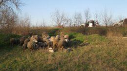 кража стада овец - Измаильский район