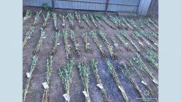 наркосодержащие растения - выращивание - Измаил